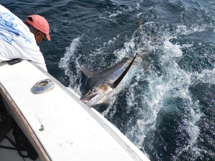 marlin being caught