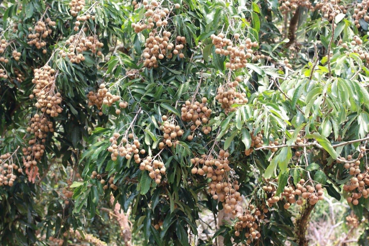 longan fruit trees